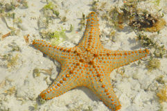 Starfish. Zanzibar, Tanzania starfish or sea stars are echinoderms belonging to the class Asteroidea. The names starfish ; ; ; and sea star essentially refer to Royalty Free Stock Photo