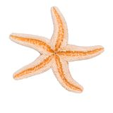 Starfish. Dried starfish isolated on white, contains clipping path outline Royalty Free Stock Images
