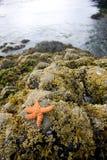 Starfish 3. Starfish on a rock Stock Image