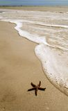 Starfish. Living starfish washed up on the beach on Sanibel Island, Florida Stock Photo