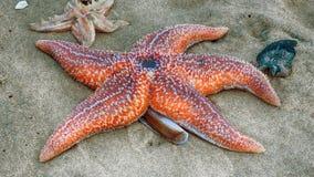 Starfish Royalty Free Stock Photo