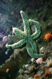 Starfish. Lucky starfish with crossed finger resting in glass.  Anemone and fish in background Royalty Free Stock Images