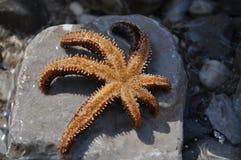 starfish Стоковые Изображения RF