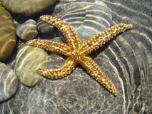 Starfish. In shallow water width light effect Royalty Free Stock Photos