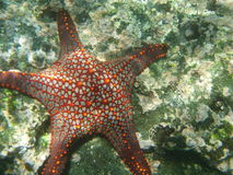 Starfish. In the Galapagos Islands in Ecuador royalty free stock photography