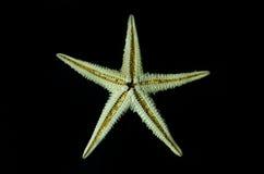 starfish Стоковая Фотография RF