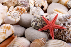 Starfish. Small red starfish with shellfish as background Royalty Free Stock Photos