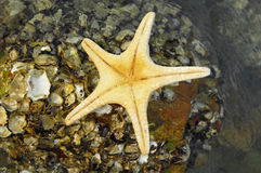 Starfish. A starfish on the beach Royalty Free Stock Images
