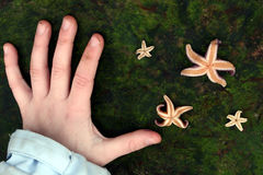 Starfish. From the north coast of the seeland island in denmark with a child hand on the rock royalty free stock photos