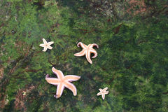 Starfish. From the north coast of the seeland island in denmark Royalty Free Stock Photos