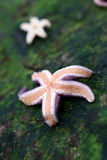 Starfish. From the north coast of the seeland island in denmark royalty free stock image