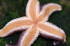 Starfish. From the north coast of the seeland island in denmark royalty free stock photography