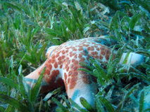 Starfish. On turtle grass. shot in the Red Sea royalty free stock photos