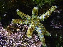 Starfish Imagem de Stock Royalty Free