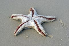 Starfish. Laying upside down on sandy foreshore Stock Photography
