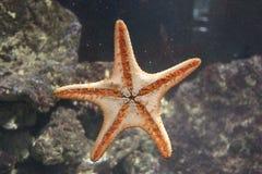 Starfish alaranjados no vidro Foto de Stock