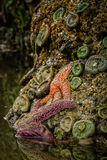Starfish And Anemones, Oregon Coast Tidepools Stock Photos