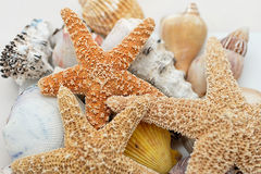 Starfish ans shells. Starfish and shells on white back Royalty Free Stock Photography