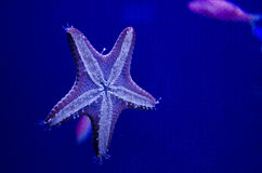 Starfish. A starfish in an aquarium in Maui Royalty Free Stock Image