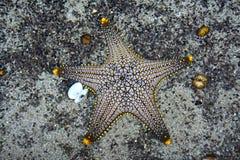 Starfish in aquarium. (Pentaceraster alveolatus) Royalty Free Stock Photography