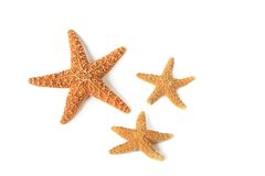Starfish (Asterias rubens) Royalty Free Stock Photography