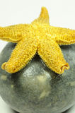 Starfish - Asteroidea Royalty Free Stock Photography
