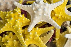 Starfish (Asteroidea) for sale at market. Royalty Free Stock Images