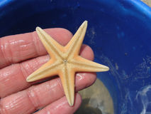 Starfish (Astropecten jonstoni). Starfish in a hand. Astropecten jonstoni is a specie of starfish that lives only in the Mediterranean Sea Stock Photography