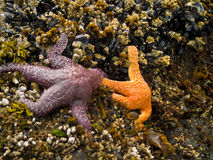 Starfish Attached to Rocks Royalty Free Stock Image