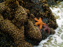 Starfish Attached to Rocks Stock Photos
