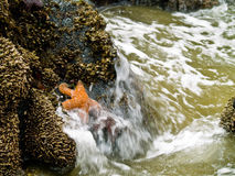 Starfish Attached to Rocks Royalty Free Stock Photos