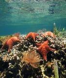 Starfish auf Korallenriff Lizenzfreie Stockfotografie