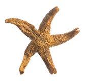 Starfish auf weißem Hintergrund Lizenzfreie Stockbilder
