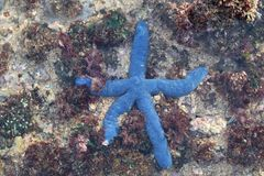 Starfish azuis fotos de stock royalty free