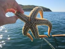 Starfish on the background of the Sea of Japan. royalty free stock photos