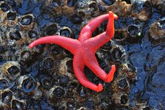 Starfish on barnacles Stock Photos