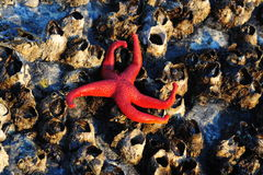 Starfish on barnacles Stock Image
