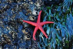 Starfish on barnacles stock photo