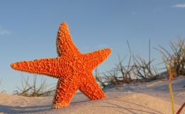 Starfish on beach Royalty Free Stock Photography