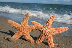 Starfish On Beach. Two starfish appear to hold hands on the beach Royalty Free Stock Images