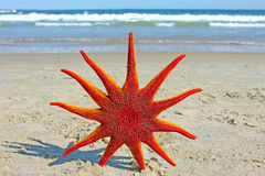 Starfish on the Beach. Royalty Free Stock Images