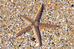 Live Starfish on beach regenerating limb Royalty Free Stock Photography