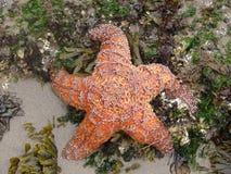 Starfish on Beach Stock Images