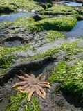 Starfish on beach over green coral. Natural marine life background Royalty Free Stock Photography
