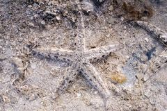 Starfish by the beach in perfect camouflage.  royalty free stock photos