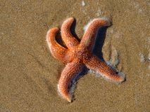 Starfish on beach. Photographed in Sussex, England Royalty Free Stock Photography