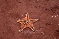Starfish on the beach in red colour Royalty Free Stock Image