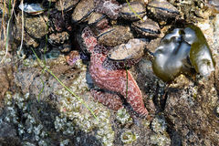 Starfish on Beach Rock. Close-up of pink starfish on dark barnacle encrusted boulder on Oregon's southern coastal region Stock Photography
