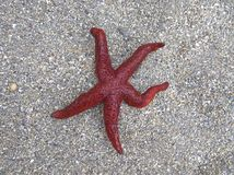 Starfish on beach sand. Red sea star. Montenegro.  royalty free stock photography
