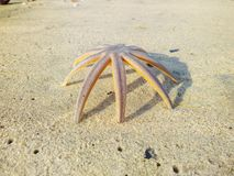 Starfish on the beach sand stock images